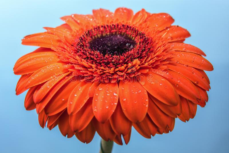 Orange gerbera flower covered by water drops royalty free stock photo