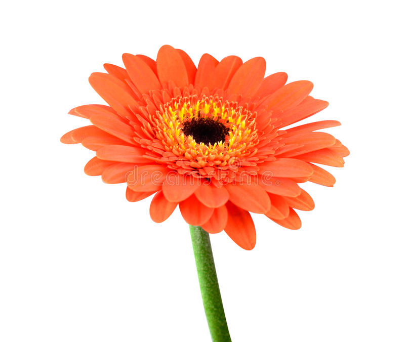 Orange Gerbera Flower with Green Stem Isolated stock images