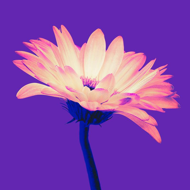 Orange gerbera flower isolated on a purple background stock images