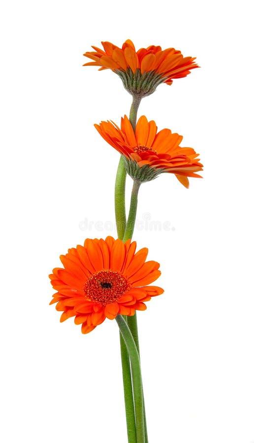 Orange gerbera flower royalty free stock image