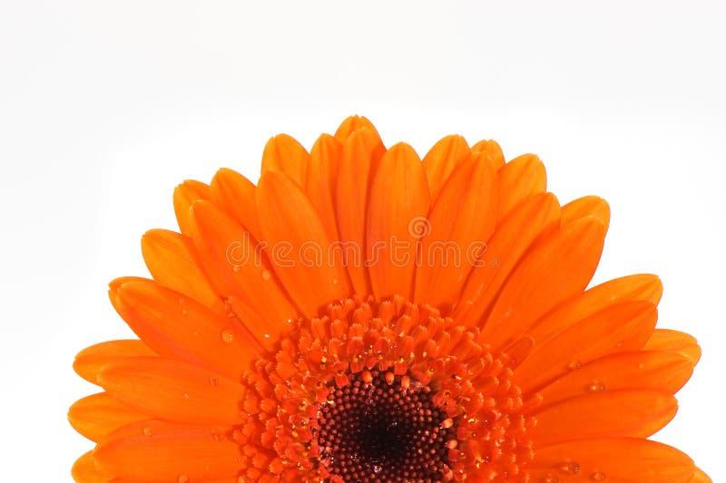 Orange gerbera flower macro royalty free stock photography