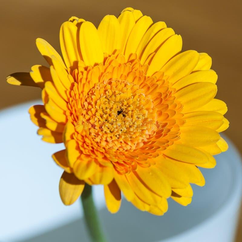 Orange gerbera flower in vase royalty free stock images