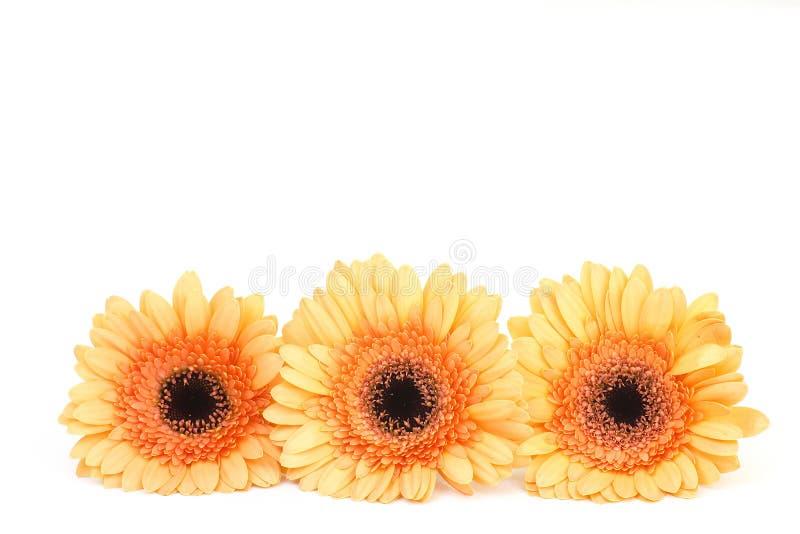 Orange gerbera flowers royalty free stock image