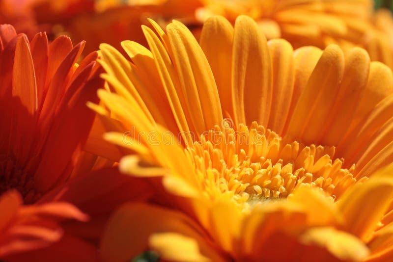 Orange gerbera flowers stock photography
