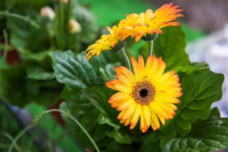 Orange gerbera flowers stock photos