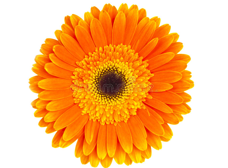 Download Orange gerbera isolated stock photo. Image of above, gerbra - 28466446