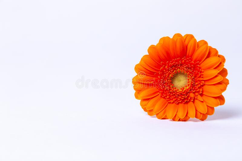 Orange gerbera on a white background. Close-up, selective focus, isolate. Place for text royalty free stock photos