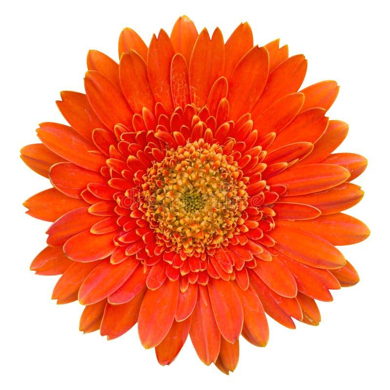 Orange gerberablomma som isoleras på vit royaltyfri fotografi