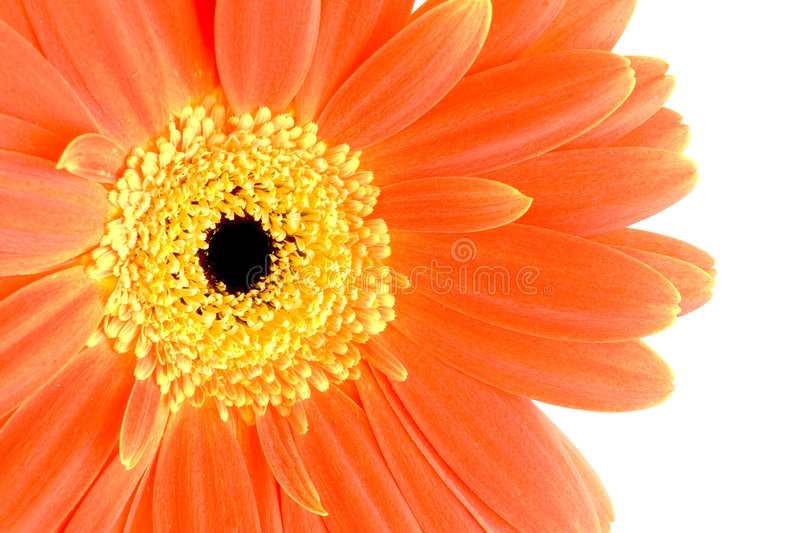 Orange Gerberablume stockbild