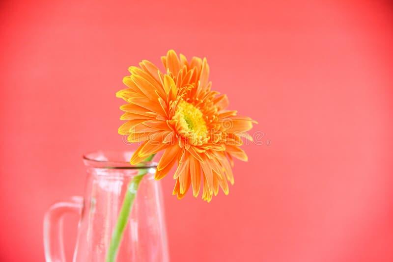 Orange Gerberagänseblümchenblumen-Frühlingssommer schön in der Glasgefäßzusammensetzung auf rotem Hintergrund lizenzfreie stockbilder