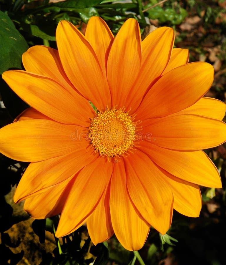 Orange Gerberagänseblümchen zentriert im Bild lizenzfreies stockfoto