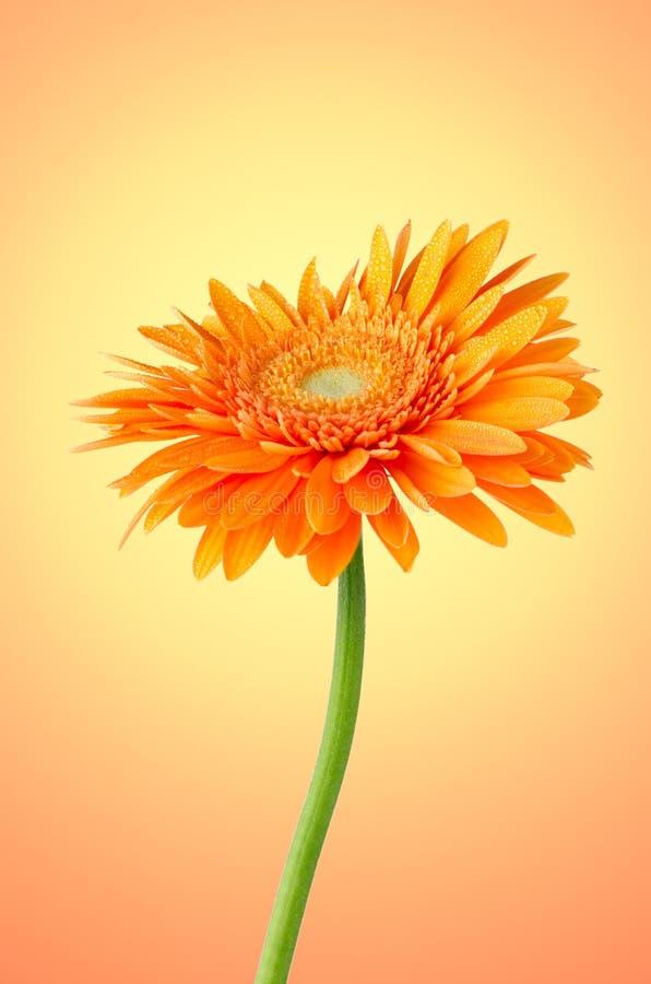 Orange Gerberagänseblümchenblume lizenzfreie stockbilder