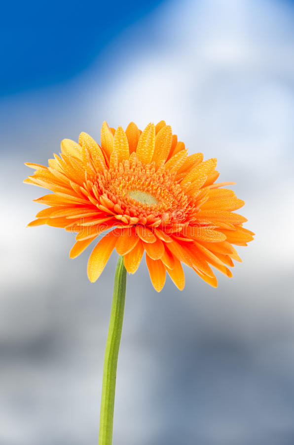Orange Gerberagänseblümchenblume lizenzfreie stockfotografie
