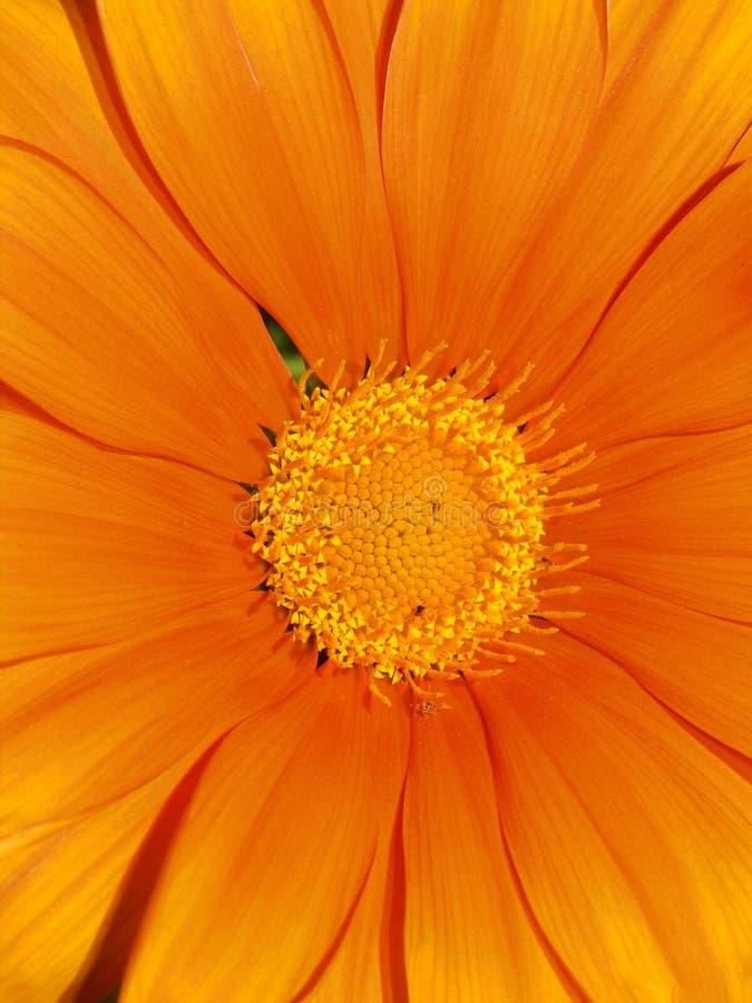 Orange Gerberagänseblümchennahaufnahme, die gelbes Mittelstaubgefäß zeigt lizenzfreies stockfoto