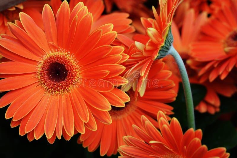 Orange gerberatusenskönor fotografering för bildbyråer