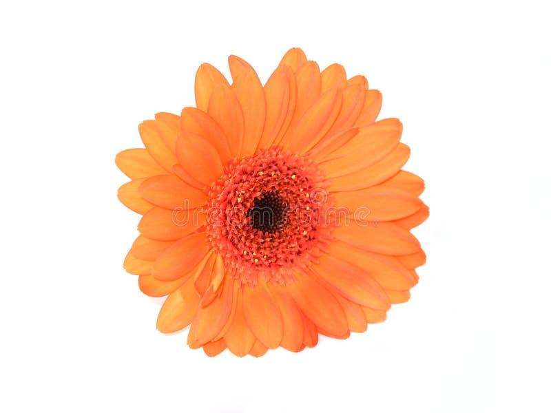 Orange gerberblomma på vit royaltyfri foto
