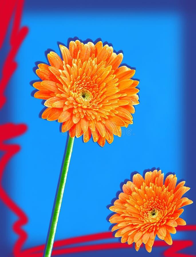 orange gerbers royaltyfri fotografi