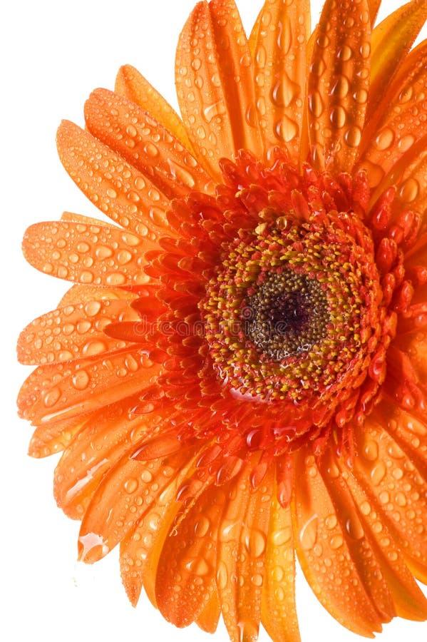 Orange gerbertusenskönablomma på vit royaltyfria bilder