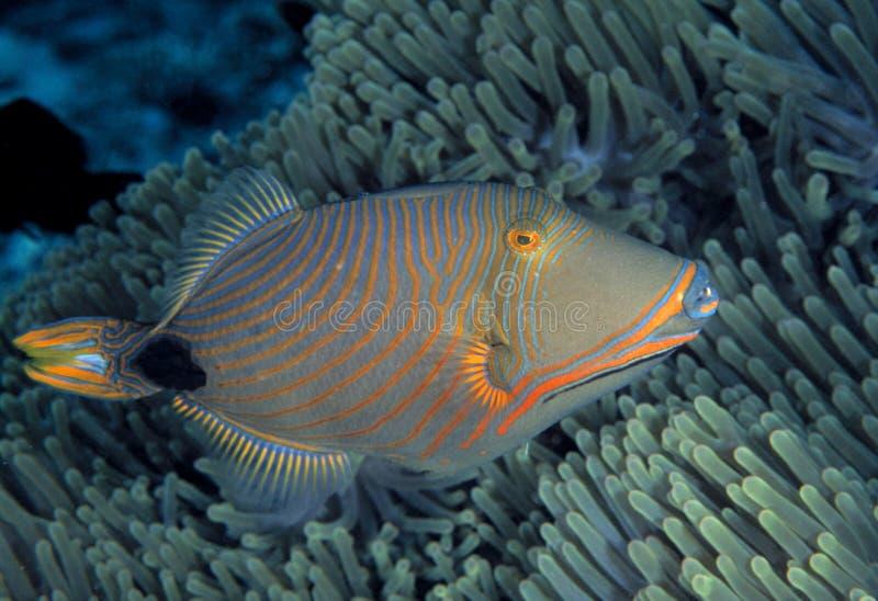 Orange-gesäumter Triggerfish, Sipadan-Insel, Sabah lizenzfreies stockbild