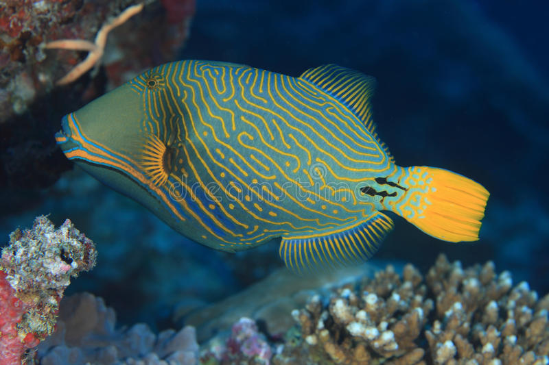 Orange-gestreifter Triggerfish stockfoto