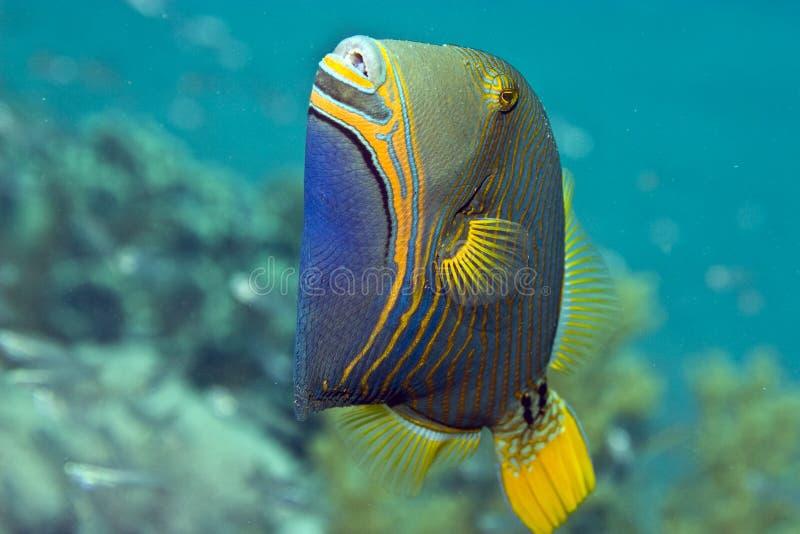 Orange-gestreifter Triggerfish (balistapus undulatus) stockbild