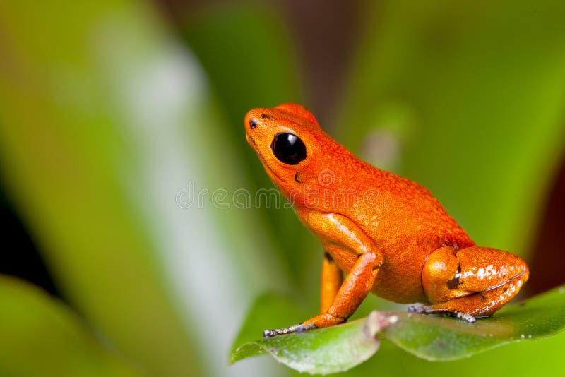 orange gift för pilgroda arkivbild