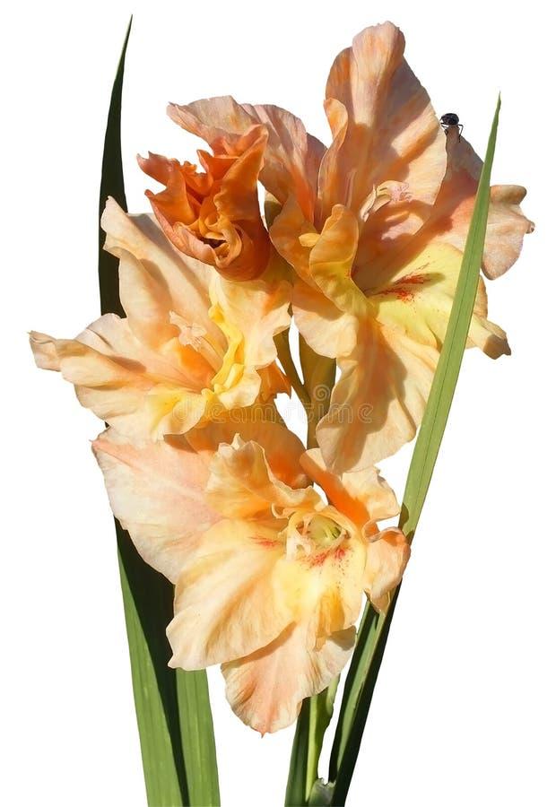 Orange Gladiole stockbild