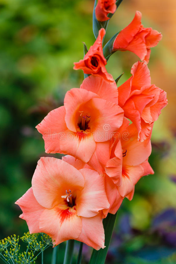 Orange gladiolus royaltyfri bild