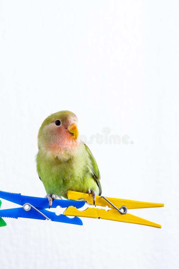 Orange gröna och blåa dvärgpapegojor royaltyfri fotografi