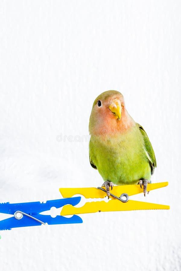 Orange gröna och blåa dvärgpapegojor arkivfoton
