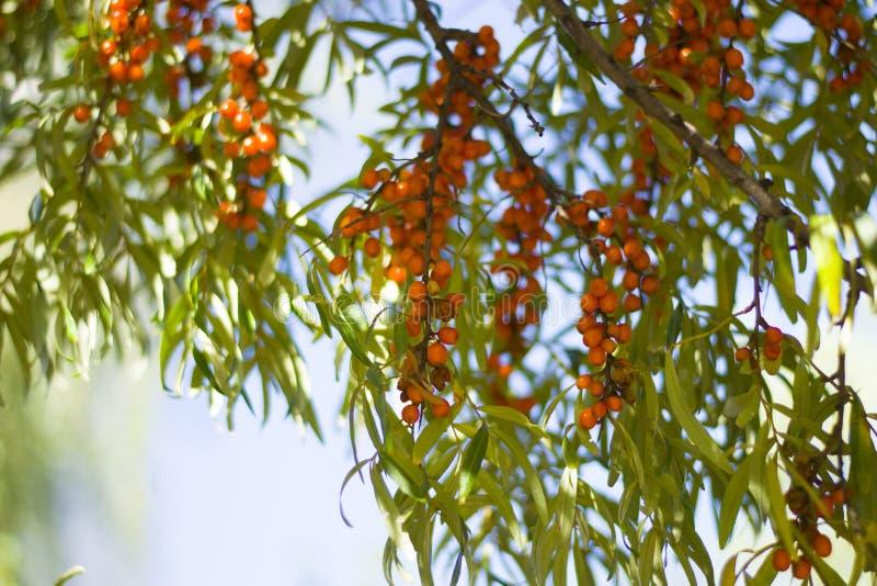 Orange gröna sidor för havsbuckthornbär på trädfilialer I royaltyfria foton