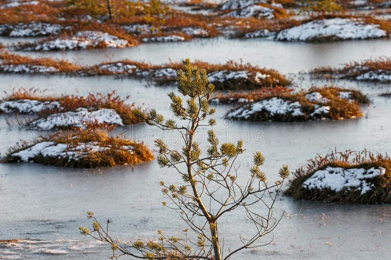 Orange grass on a swamp in winter royalty free stock photography