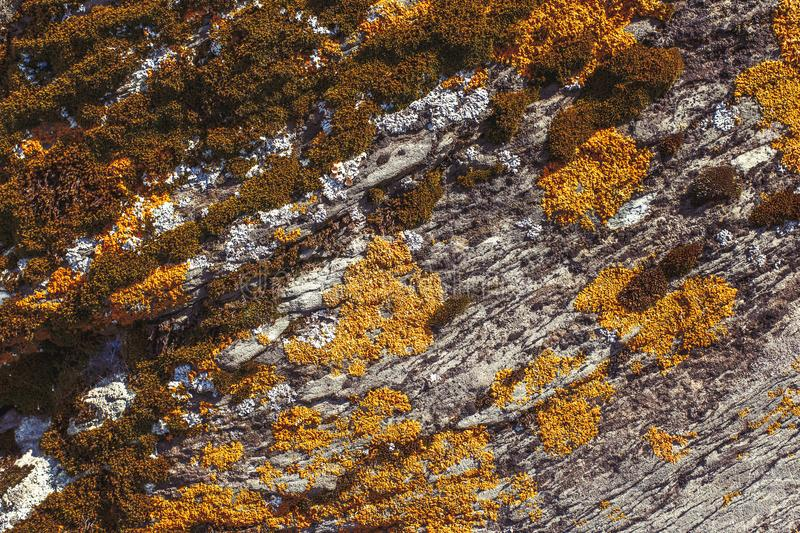 Orange and green coloured lichen on rock, texture background stock images