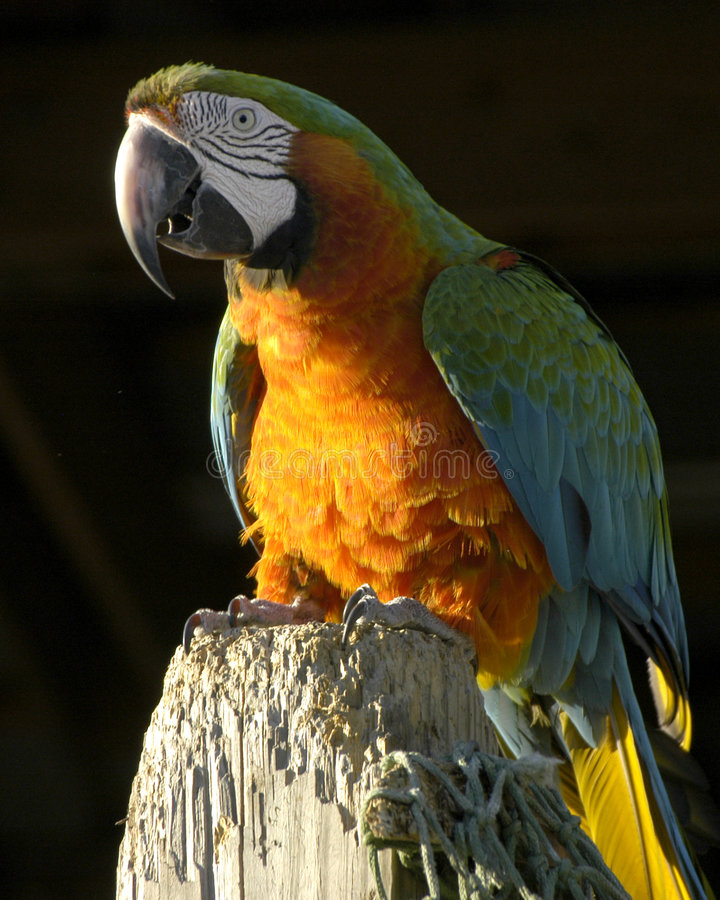 Download Orange And Green Parrot Royalty Free Stock Image - Image: 189926