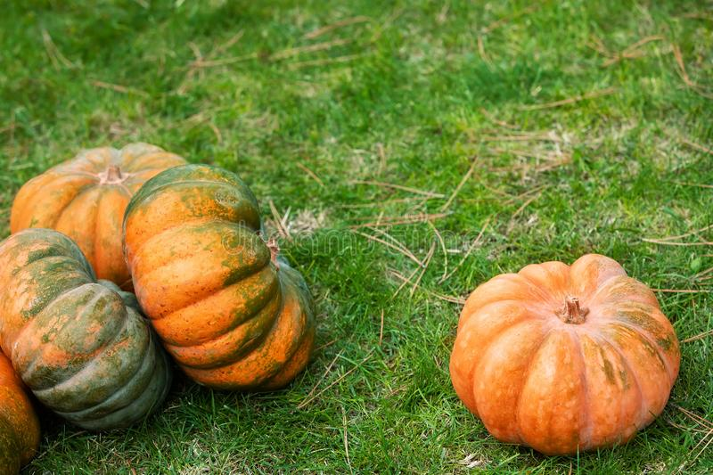 Orange and green pumpkin on green grass. Colorful autumn Thanksgiving background with copy space for your text. royalty free stock photography