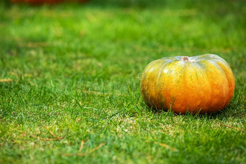 Orange and green pumpkin on green grass. Colorful autumn Thanksgiving background with copy space for your text. royalty free stock image