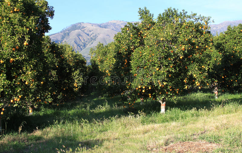 Orange grove. Fresh oranges on the trees in the orange grove royalty free stock image