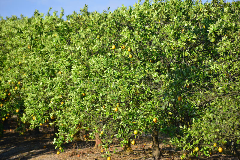 Orange Grove. Loaded Orange Trees In Grove In South Florida stock images