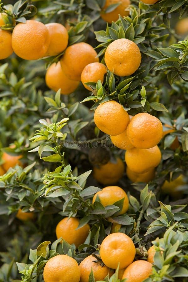 Orange Grove 5. Oranges in an orange grove, Chinotto oranges royalty free stock photos