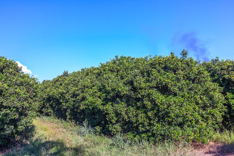Orange grove in Brazil - mature fruits. Orange grove in Brazil mature fruits royalty free stock image