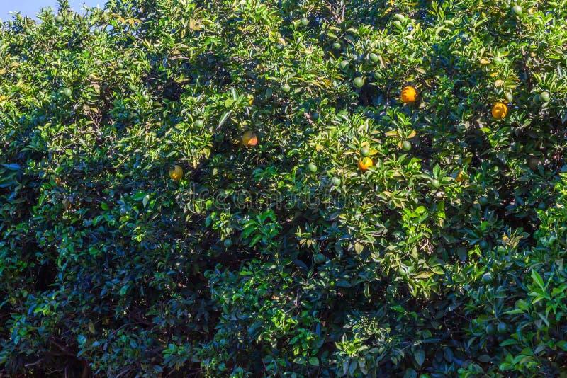 Orange grove in Brazil - mature fruits. Orange grove in Brazil mature fruits stock image