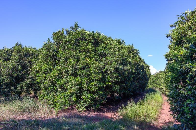 Orange grove in Brazil - mature fruits. Orange grove in Brazil mature fruits stock photography