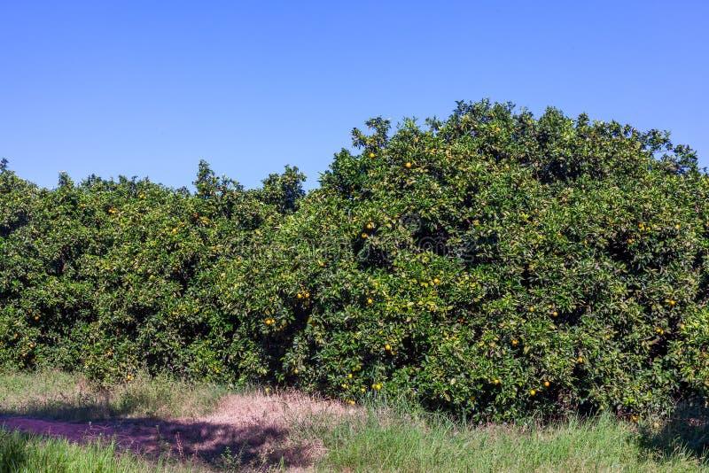 Orange grove in Brazil - mature fruits. Orange grove in Brazil mature fruits stock photo