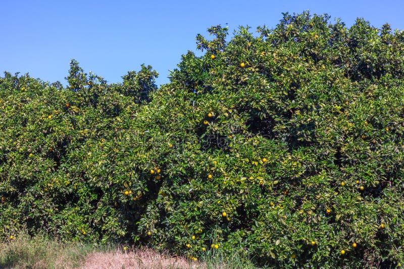 Orange grove in Brazil - mature fruits. Orange grove in Brazil mature fruits royalty free stock photography