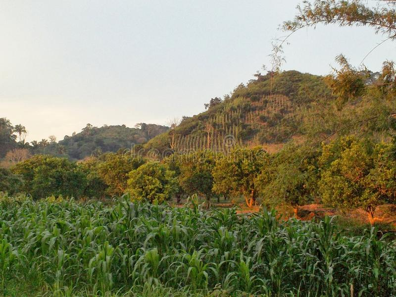 Orange Grove. An orange grove in the countryside near Tuxpan, Mexico royalty free stock images