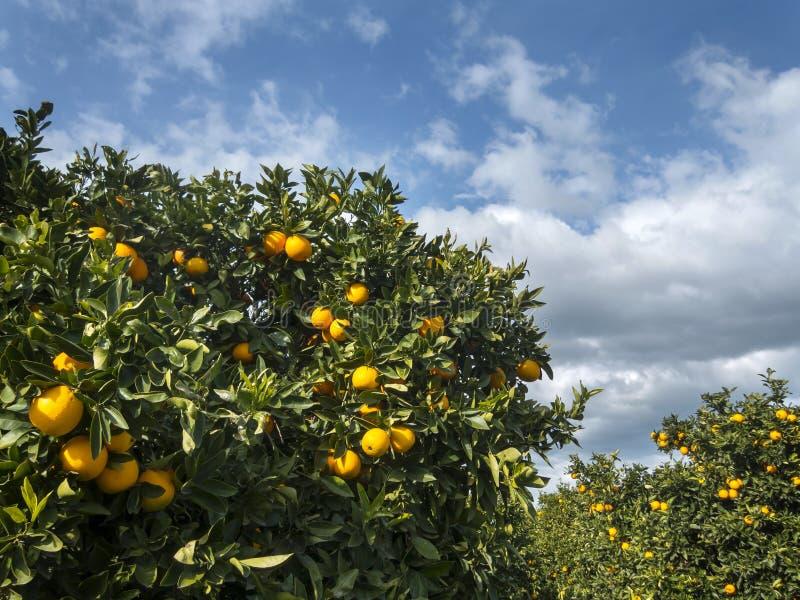 Orange grove. An orange grove after a rain storm royalty free stock photography