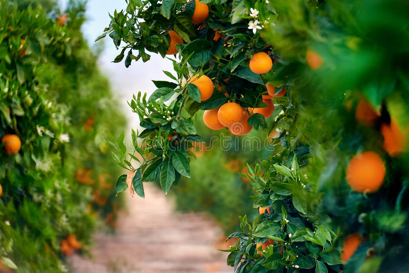 Orange grove in Southern Spain. Daylight, no people stock image