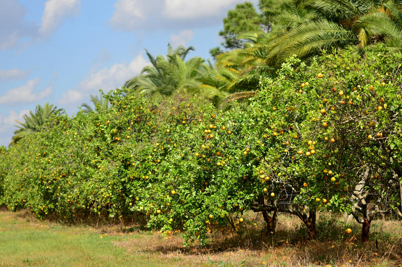 Orange Grove. Valencia orange trees in a grove in Florida with palms royalty free stock images