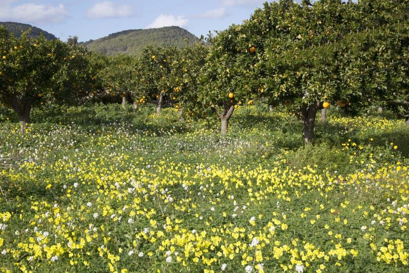 Orange Grove and Wild Flowers; Santa Agnes; Ibiza. Spain stock image