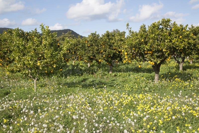 Orange Grove and Wild Flowers; Santa Agnes; Ibiza. Spain royalty free stock photos